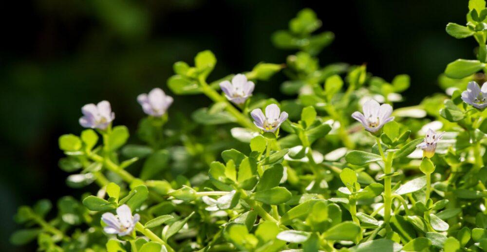 7 Beneficios emergentes de la Bacopa monnieri (Brahmi)