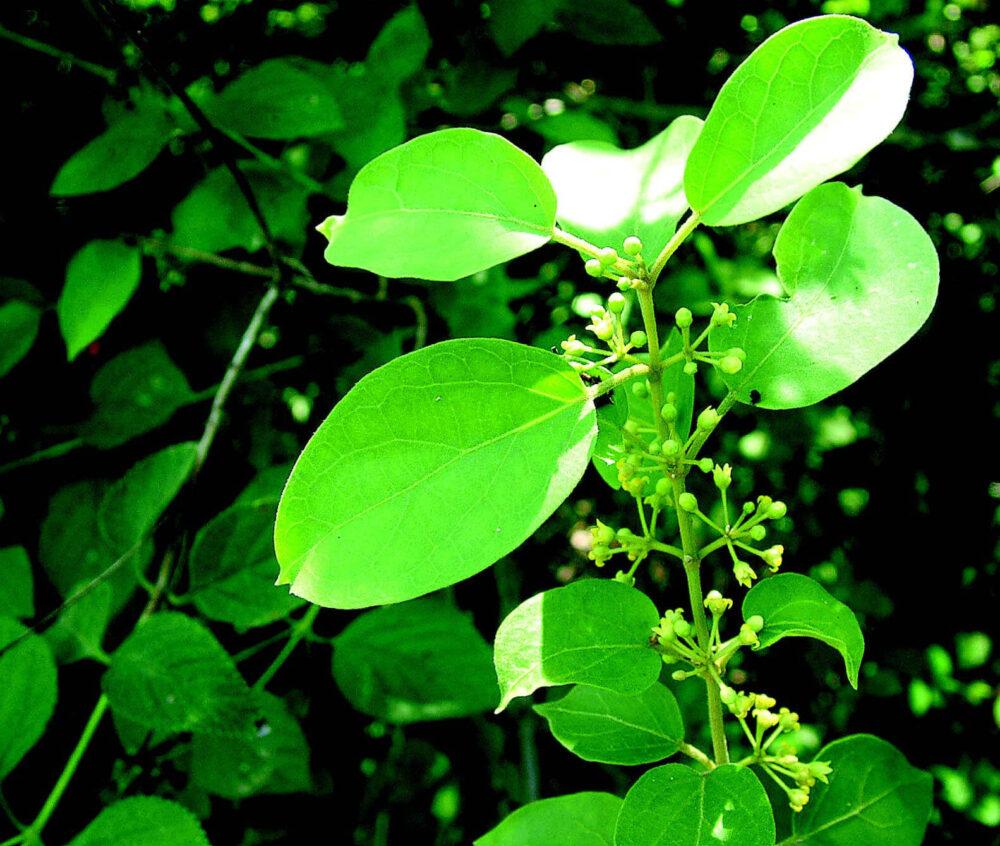 La gymnema sylvestre ayuda a reducir la inflamación debido a su contenido en tanino y saponina