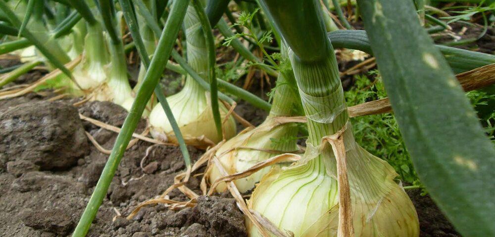 Las cebollas contienen vitaminas y minerales