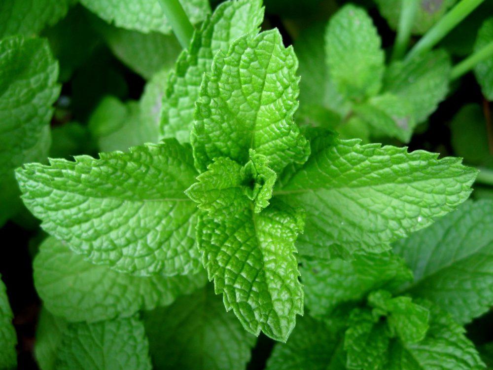 12 Beneficios del té y los extractos de menta respaldados por la ciencia