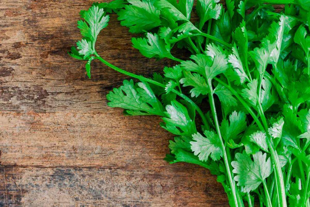 ¿Puede sustituir el cilantro por cilantro?