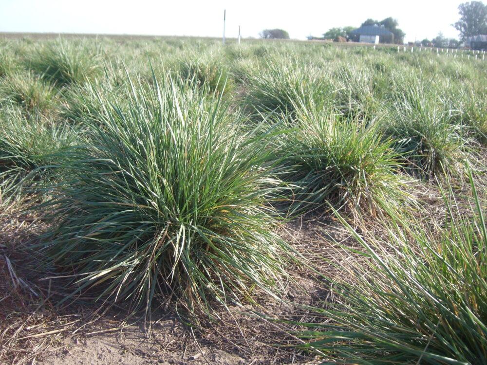 7 Beneficios del pasto agropiro basados en la evidencia