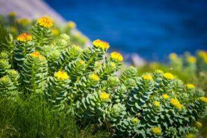 7 Beneficios para la salud de la Rhodiola rosea respaldados por la ciencia
