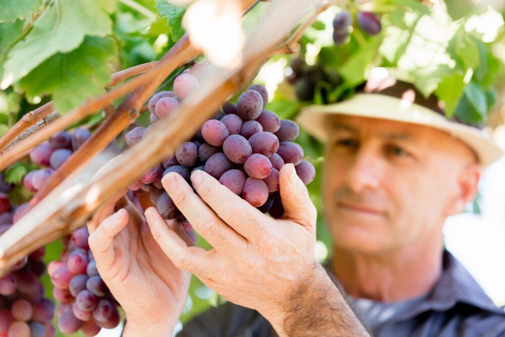 El Resveratrol es un poderoso antioxidante con un gran potencial