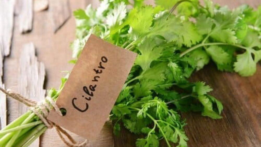 El cilantro Pueden reducir los factores de riesgo de las enfermedades cardíacas