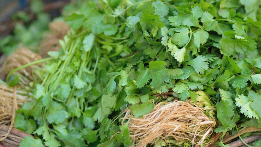 El cilantro puede ayudarles a combatir las infecciones
