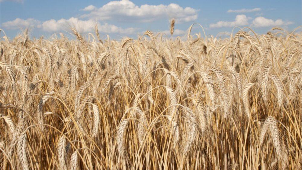 La fibra y otros compuestos beneficiosos que se encuentran en la cebada pueden combatir ciertos tipos de cáncer