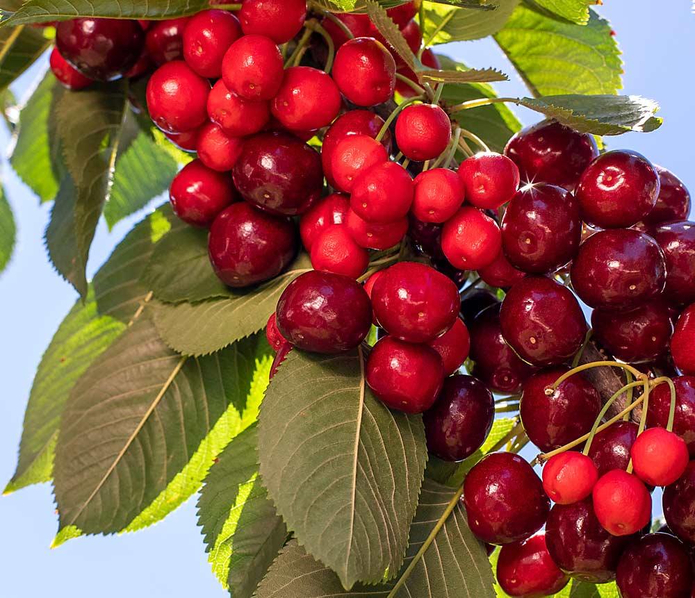 Ricas en antioxidantes y compuestos antiinflamatorios
