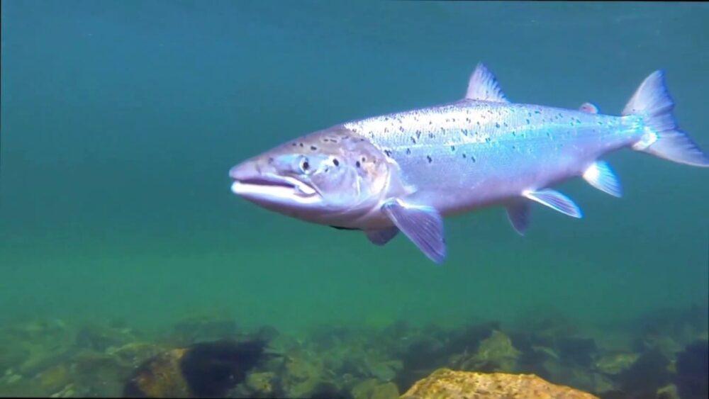 Salmon del atlantico